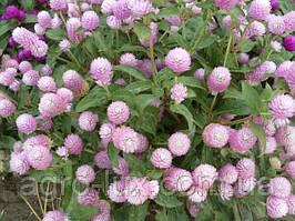 Семена цветов гомфрены Будди розовой 200 шт Hем Zaden