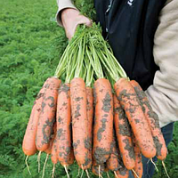 Семена моркови Балтимор (1,8-2,0мм) F1 1 млн шт