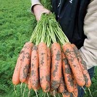 Семена моркови Балтимор (1,8-2,0мм) F1 1 млн шт Bejo / БЕЙО