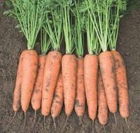 Семена моркови Белградо F1 (1,6-1,8 мм)1 млн шт Bejo / БЕЙО