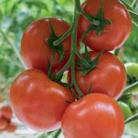 Семена красного томата Беллавиза F1 1000 шт, Rijk Zwaan / Рийк Цваан