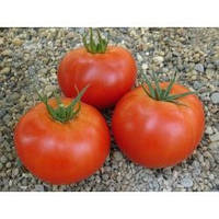 Томат красный Буран F1 500 семян Enza Zaden / Энза Заден