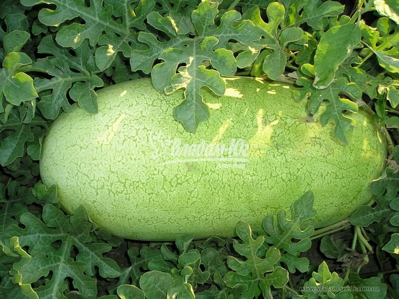 Семена арбуза Чарльстон Грей 500 г Clause / Клоз