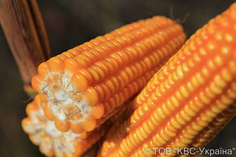 Семена кукурузы Емилио Фао 250