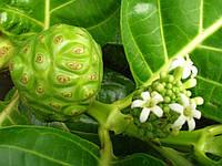 НОНИ (Morinda citrifolia)