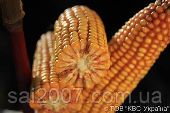 Семена кукурузы Матеус Фао 190