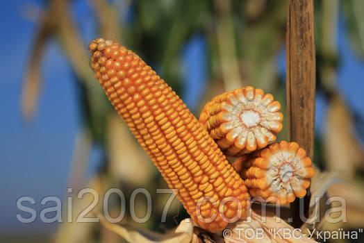 Семена кукурузы Сильвинио фао 200