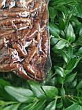 Пекан карамельний чищений горіх Америка 0,5 кг, фото 3