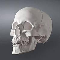 Модель черепа человека. Череп из гипса в натуральную величину, учебное пособие, предмет интерьера