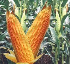 Наісння кукурудзи НС 2652