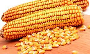 Насіння кукурудзи Рубікон