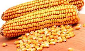 Семена кукурузы Рубикон