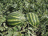 Семена арбуза Эпика F1 (1000 сем.) Clause, фото 2