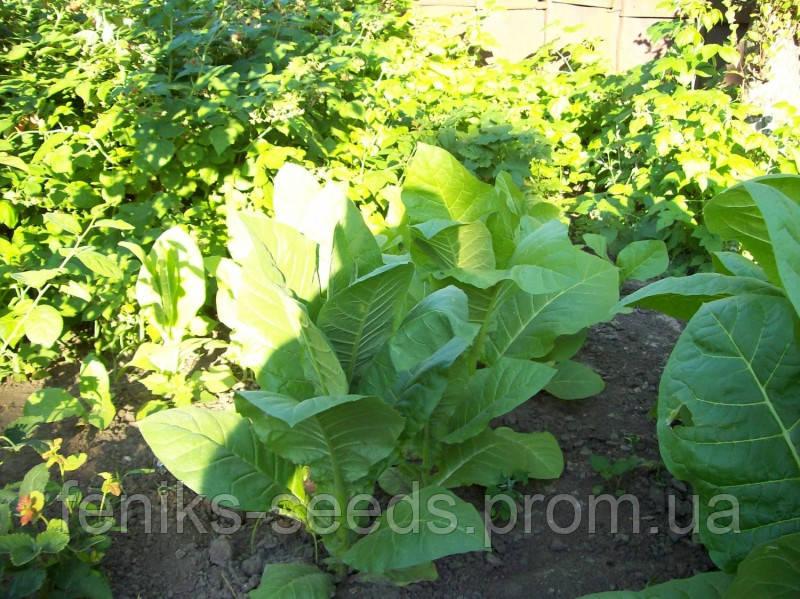 Семена Табак Кентукки