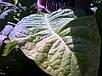 Семена Табак Кентукки, фото 2