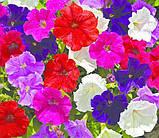 Петуния мелкоцветковая Пикобелла Syngenta Голландия 200 шт Mix, фото 2