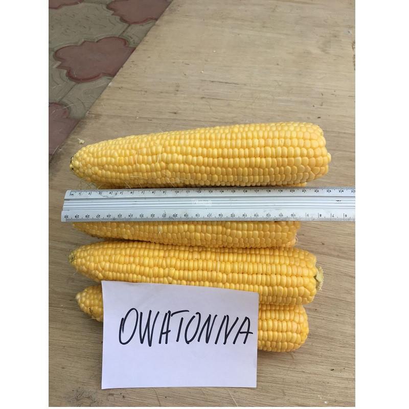 Насіння кукурудзи солодкої Оватона F1 (5000 нас.) Clause