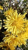Хризантема садовая жёлтая