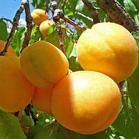 Саженцы абрикоса Ананасный (середина июля), 2-х летний