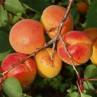 Саженцы абрикоса Краснощекий (середина июля)