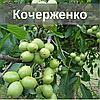 Саженцы ореха Кочерженко (Трехлетний)