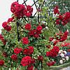 Саженцы роз Амадеус