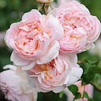 Саженцы роз плетистая Шарифа Асма