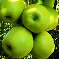 Саженцы яблони Мутсу (зимний сорт), фото 1