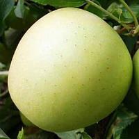 Саженцы яблони Снежный калвин, фото 1