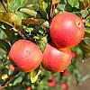 Саженцы яблони Эдера (зимний сорт)
