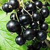 Саженцы чорной смородины Вернисаж