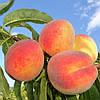 Саженцы колоновидного персика Элис (созревание-начало Августа)
