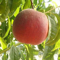 Саженцы Персика Роял Саммер - поздний, урожайный, крупноплодный