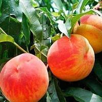 Саженцы Персика Рилайнс - средний, зимостойкий, урожайный