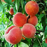 Саженцы Персика Альстар - средне-поздний, крупноплодный, морозостойкий