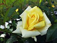 Саджанці троянд Бероліна (Berolina, Беролина), фото 1