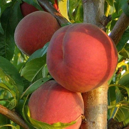 Саженцы Персика Крест Хейвен - поздний, крупноплодный, урожайный