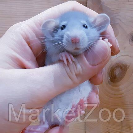 """Крыска дамбо,окрас """"бело-голубой капюшенчатый"""",девочки,возраст 1,5мес,, фото 2"""