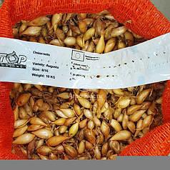 Августо / Augusta лук севок (арпаш), 1 кг — желтый, озимый