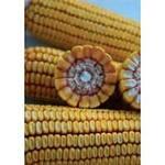 Семена кукурузы  PR37N01