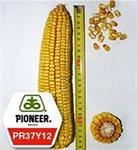 Семена кукурузы  PR37Y12