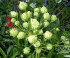 Роза Morsdag White (Морсдаг Уайт)Полиантовые, фото 2