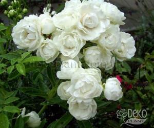 Роза Morsdag White (Морсдаг Уайт)Полиантовые