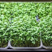 Лотки для выращиваня мікрозелені високі, фото 1