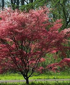 Клен пальмолистний Deshojo 2 річний, Клен пальмолистный Дешойо, Acer palmatum Deshojo