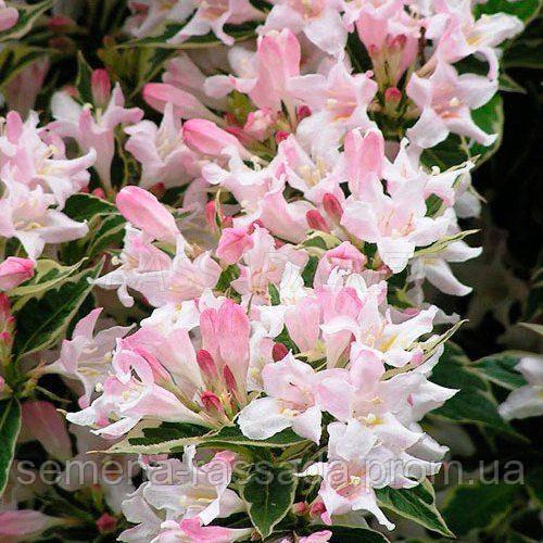 Вейгела цветущая Splendid / Саженец: 20-25 см, 3 л. Предварительный заказ, отправка весной 2021г.