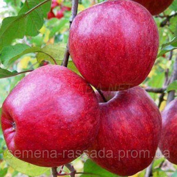 Яблоня Моди (3 года, 15 л)