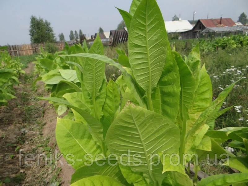 Семена Табак Тернопольский