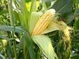Семена кукурузы Делитоп, фото 2