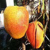 Саженцы Груши Китайский фонарик - зимнего срока, крупноплодная, сочная